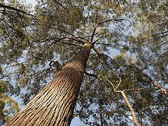 white mahogany tree queensland timber species